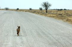 Roadtrip van een jakhals Royalty-vrije Stock Foto