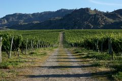 Roadway Through the Vineyard in British Columbia`s South Okanagan. An access road through rows of grape vines in the Okanagan wine country of British Columbia Stock Images