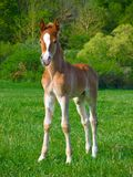 Roaf. Foal on green lawn with timber background Royalty Free Stock Photos