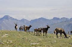 Roam Free. Wildlife roaming through Rocky Mountain National Park Stock Photos