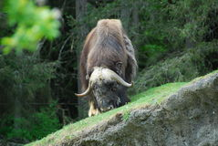 Roaming Buffalo. An African buffalo grazing on grass Stock Photo