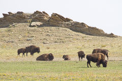 Roaming Buffalo Royalty Free Stock Image