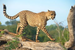 Roaming Cheetah. A cheetah on a prowl for prey Royalty Free Stock Images