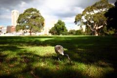Roaming Ibis. This Ibis was roaming the Royal Botanic Gardens in Sydney Royalty Free Stock Photo