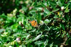 New seasons butterfly`s monarch letting me take pictures royalty free stock image