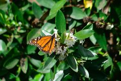 New seasons butterfly`s monarch letting me take pictures stock photos
