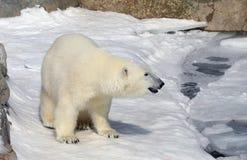 Roaming Polar Bear Stock Image