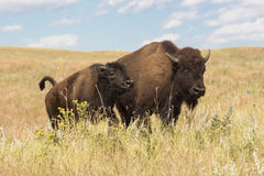 Roaming the prairie grassland. Buffalo cow and calf moving across the prairie Royalty Free Stock Photo