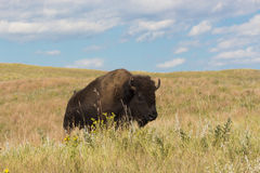 Roaming the prairie. Wild buffalo on the western prairie Stock Images
