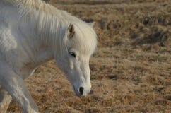 Roaming White Icelandic Horse. Gorgeous roaming white Icelandic horse in a hay field Royalty Free Stock Photo