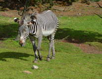 Roaming Zebra with Great Bold Markings on His Body Stock Images