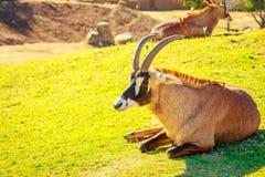 Roan антилопа Стоковые Фотографии RF