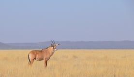 Roan антилопа Стоковое Изображение