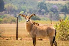 Roan антилопы стоя в ограженной области, Свазиленд Стоковые Изображения
