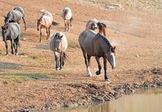 Roan залива печени каштана на водопое с табуном диких лошадей на waterhole в ряде дикой лошади гор Pryor в Монтане США Стоковое фото RF
