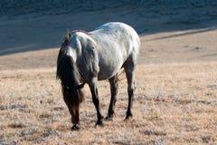 Roan дикой лошади голубой покрасил жеребца диапазона на Sykes Ридже над шаром чашка в горах Pryor в †«Вайоминге Монтаны Стоковая Фотография