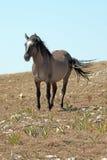 Roan дикой лошади голубой покрасил жеребца диапазона стоя на Sykes Ридже над шаром чашка в горах Pryor в †«Вайоминге Монтаны Стоковые Изображения