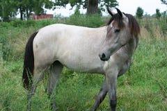 roan лошади стоковое фото