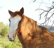 Roan лошадь с белым пламенем - головой - за загородкой с ветвями стоковое изображение