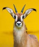 Roan портрет антилопы Стоковые Фотографии RF