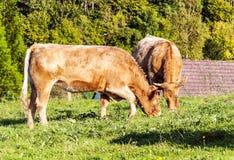 μαύρη γούνα αγελάδων που βόσκει το ένα roan δύο Στοκ Εικόνα