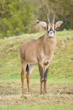 Roan Antelope Stock Images