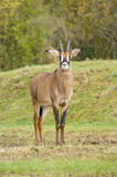 Roan Antelope Royalty Free Stock Photo
