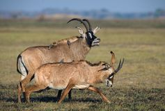 The Roan Antelope. Marriage games of antelope Roan. Birdies participate.The Roan Antelope royalty free stock images