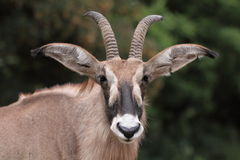 Roan antelope. The detail of roan antelope (hippotragus equinus stock photos