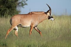 Roan antelope. A a rare roan antelope (Hippotragus equinus), South Africa royalty free stock photography
