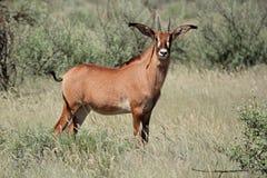 Roan antelope. A a rare roan antelope (Hippotragus equinus), South Africa Royalty Free Stock Photos