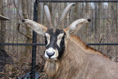 Roan antelope. (Hippotragus equinus) head Royalty Free Stock Images