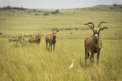 Roan antelope Africa in the grasslands royalty free stock photo
