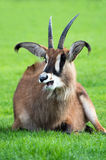 Roan Antelope. Against a background of vivid green grass stock photos