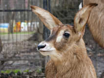Roan antelope baby Royalty Free Stock Images
