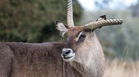 Roan antelope with broken antler. Photographed at Port Lympne Safari Park near Ashford Kent UK. stock image