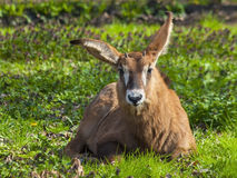 Roan antelope calf Royalty Free Stock Photos