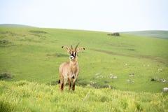 Roan Antelope en las colinas de la meseta de Nyika imágenes de archivo libres de regalías