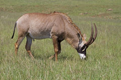 Roan antelope grazing in green grassland. A Roan antelope grazing in green grassland; Hippotragus equinus royalty free stock photos