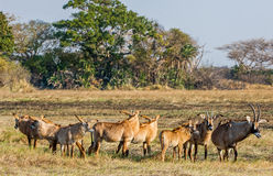 Roan antelope. Group of Roan antelope. Birdies participate.The Roan Antelope. Hippotragus equinus Royalty Free Stock Image