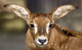 A roan antelope. Head of a foal of a roan antelope Royalty Free Stock Photography