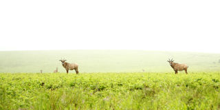 Roan Antelope on the Hills. Herd of Roan Antelope on the Hills of Nyika Plateau, Malawi, Africa stock photography