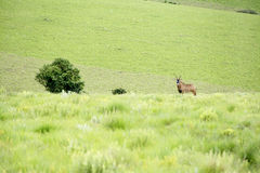 Roan Antelope on the Hills. Of Nyika Plateau, Malawi, Africa Royalty Free Stock Images
