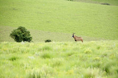 Roan Antelope on the Hills. Of Nyika Plateau, Malawi, Africa Stock Images