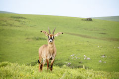 Roan Antelope on the Hills of Nyika Plateau Stock Images