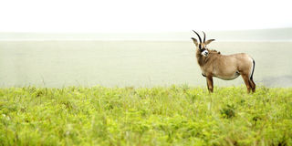 Roan Antelope on the Hills. Of Nyika Plateau, Malawi, Africa stock image
