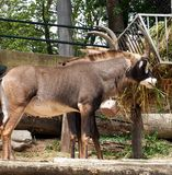 Roan Antelope Or Hippotragus Equinus Stock Images