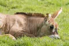 Roan antelope (Hippotragus equinus) Royalty Free Stock Photo