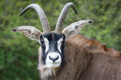 Roan antelope. The roan antelope Hippotragus equinus close up portrait looking forward Royalty Free Stock Photography