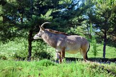 Roan Antelope Hippotragus Equinus dans le regard de nature photos stock